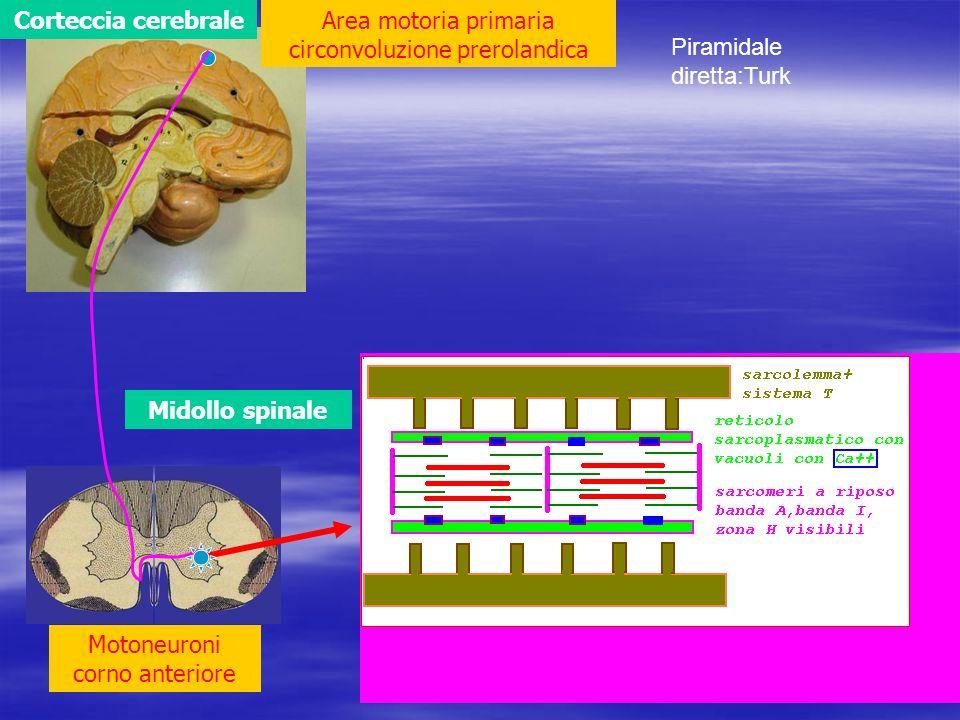 Corteccia cerebrale Midollo spinale