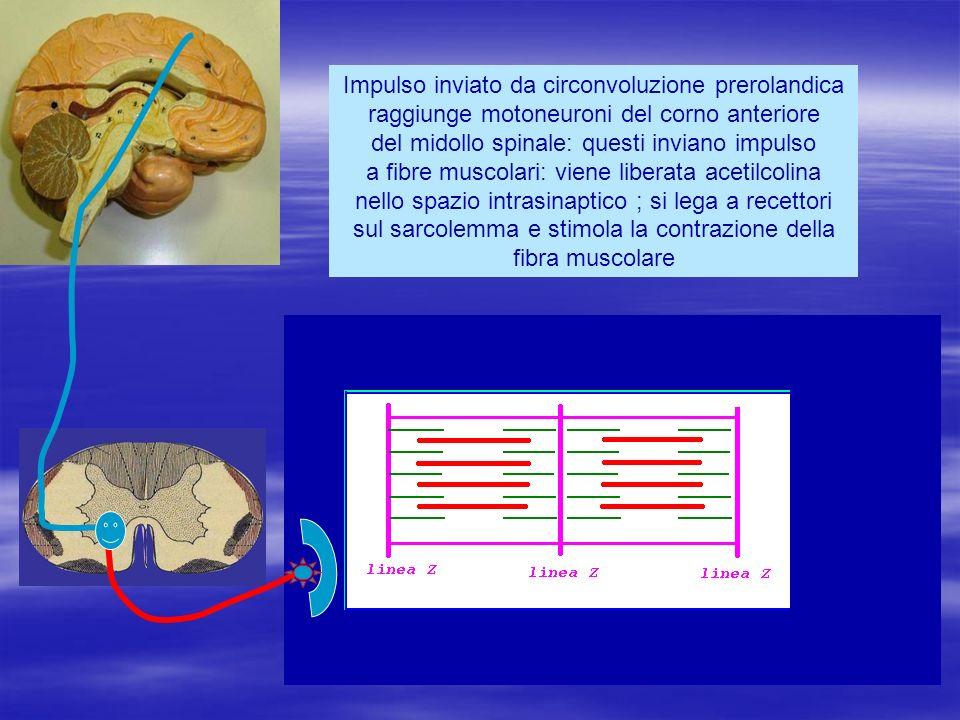Impulso inviato da circonvoluzione prerolandica raggiunge motoneuroni del corno anteriore del midollo spinale: questi inviano impulso a fibre muscolari: viene liberata acetilcolina nello spazio intrasinaptico ; si lega a recettori sul sarcolemma e stimola la contrazione della fibra muscolare