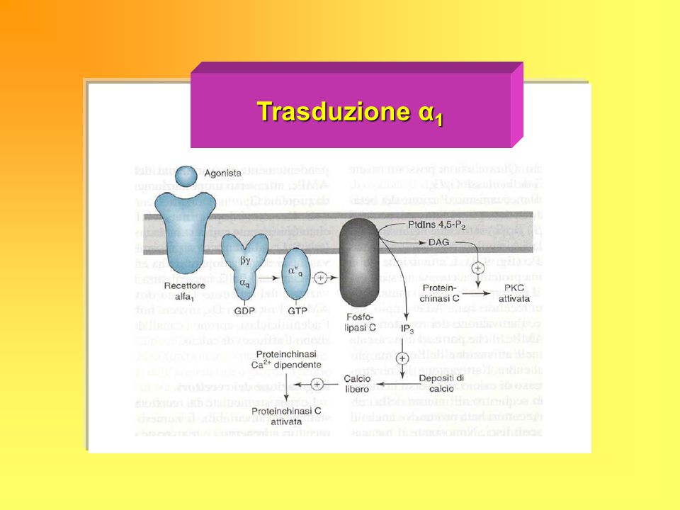 Trasduzione α1