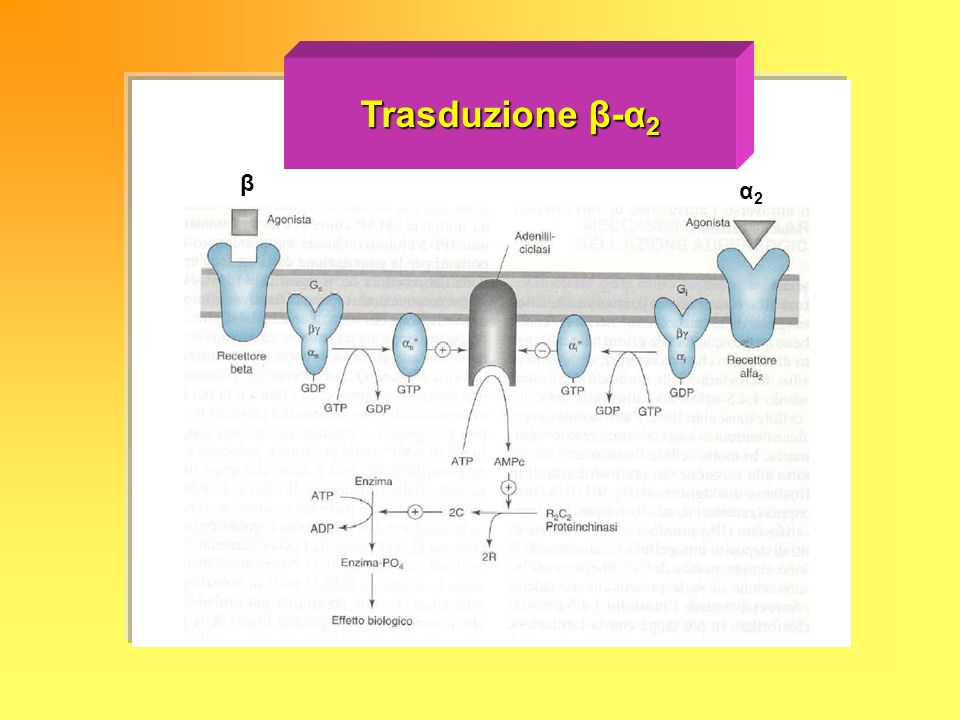 Trasduzione β-α2 β α2