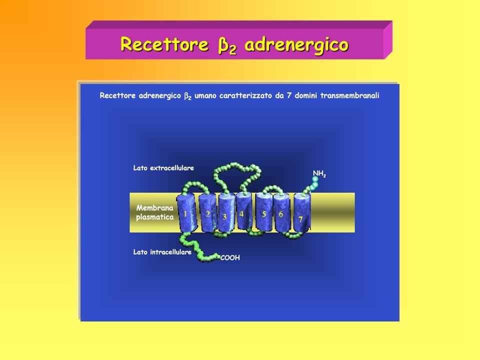 Recettore β2 adrenergico