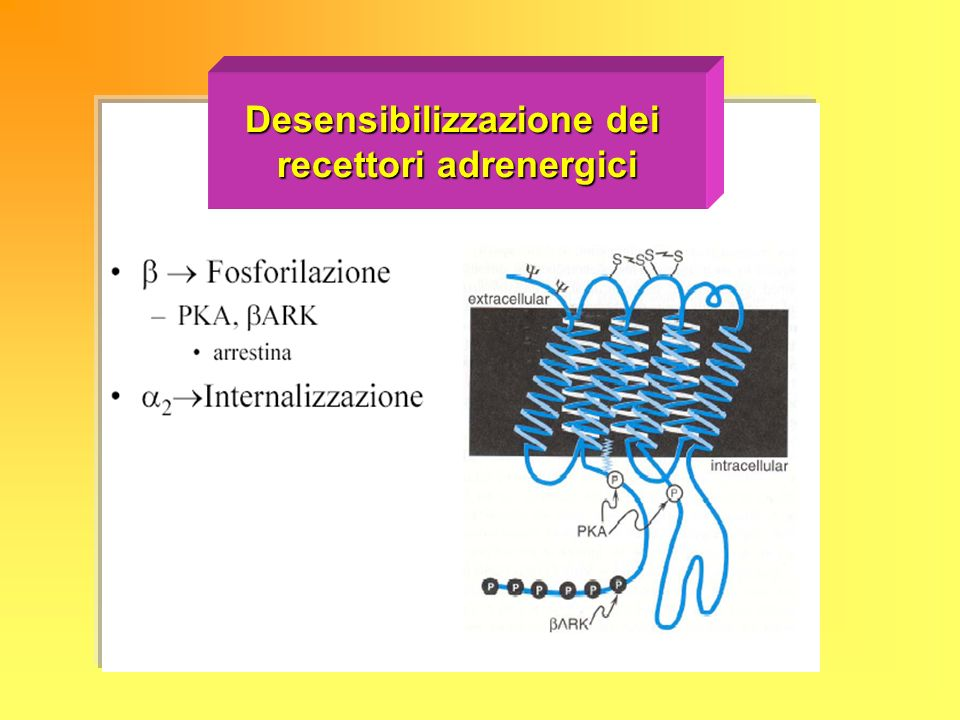 Desensibilizzazione dei recettori adrenergici