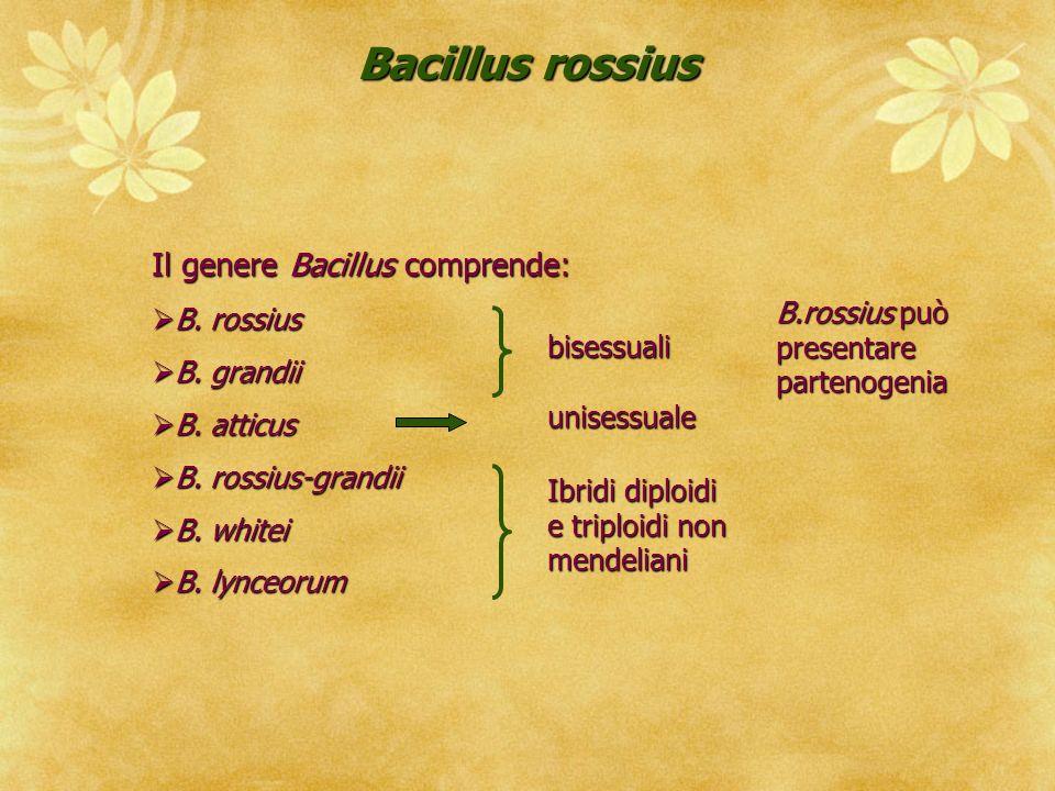 Bacillus rossius Il genere Bacillus comprende: B. rossius B. grandii