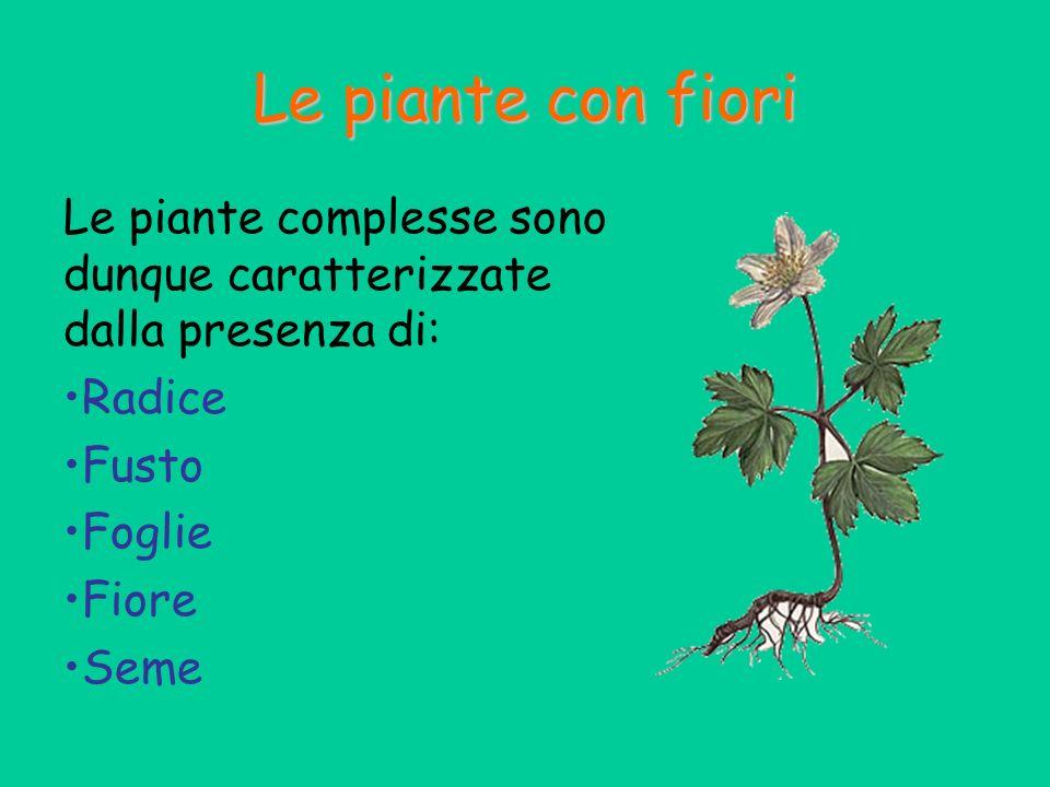 Le piante con fiori Le piante complesse sono dunque caratterizzate dalla presenza di: Radice. Fusto.