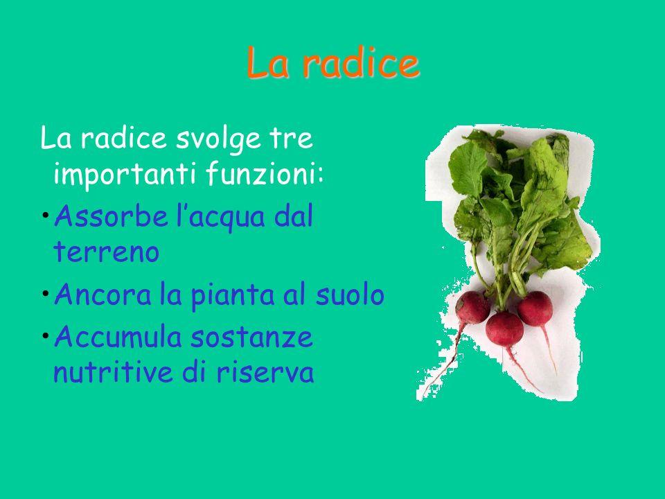 La radice La radice svolge tre importanti funzioni: