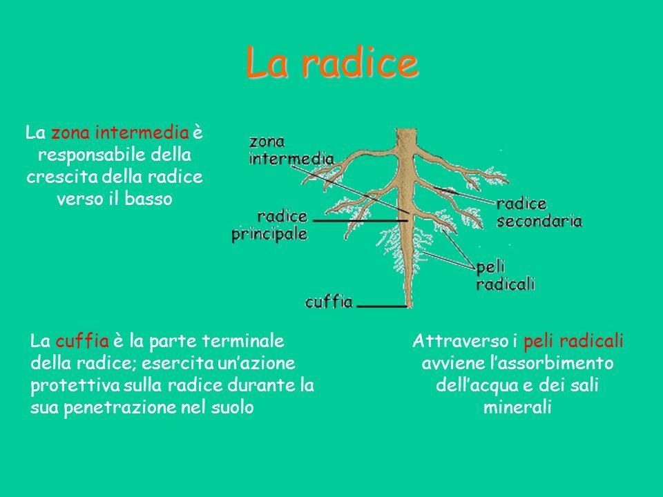 La radice La zona intermedia è responsabile della crescita della radice verso il basso.