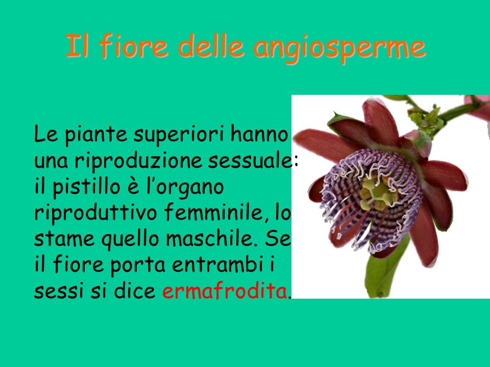 Il fiore delle angiosperme