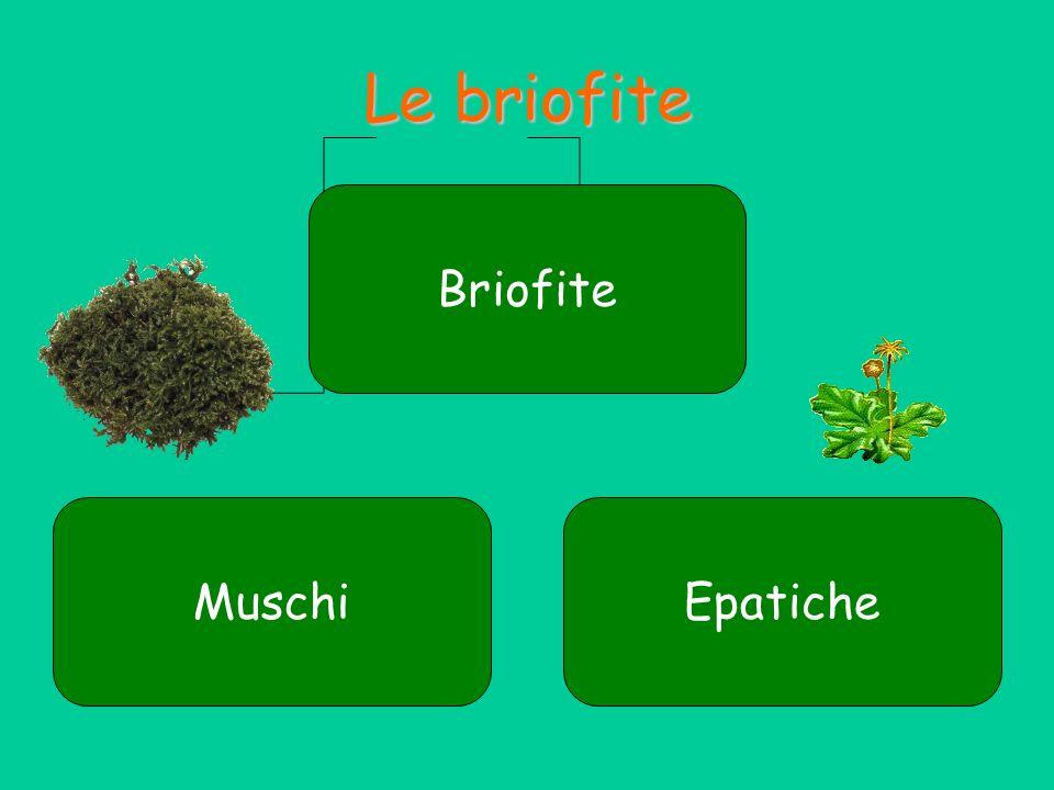 Le briofite Briofite Muschi Epatiche