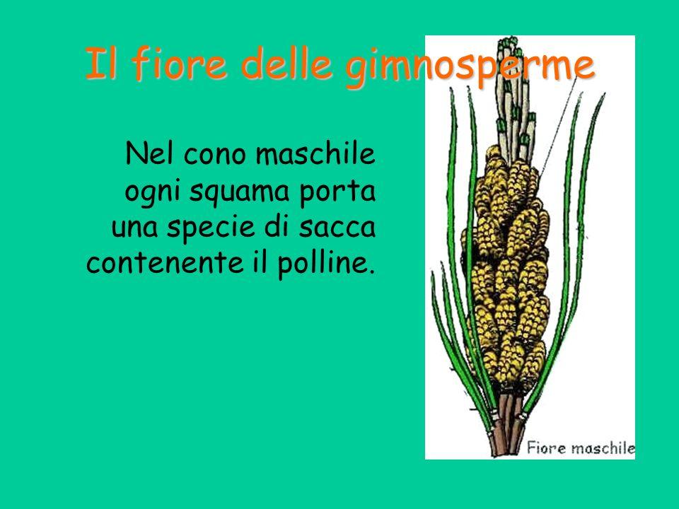 Il fiore delle gimnosperme