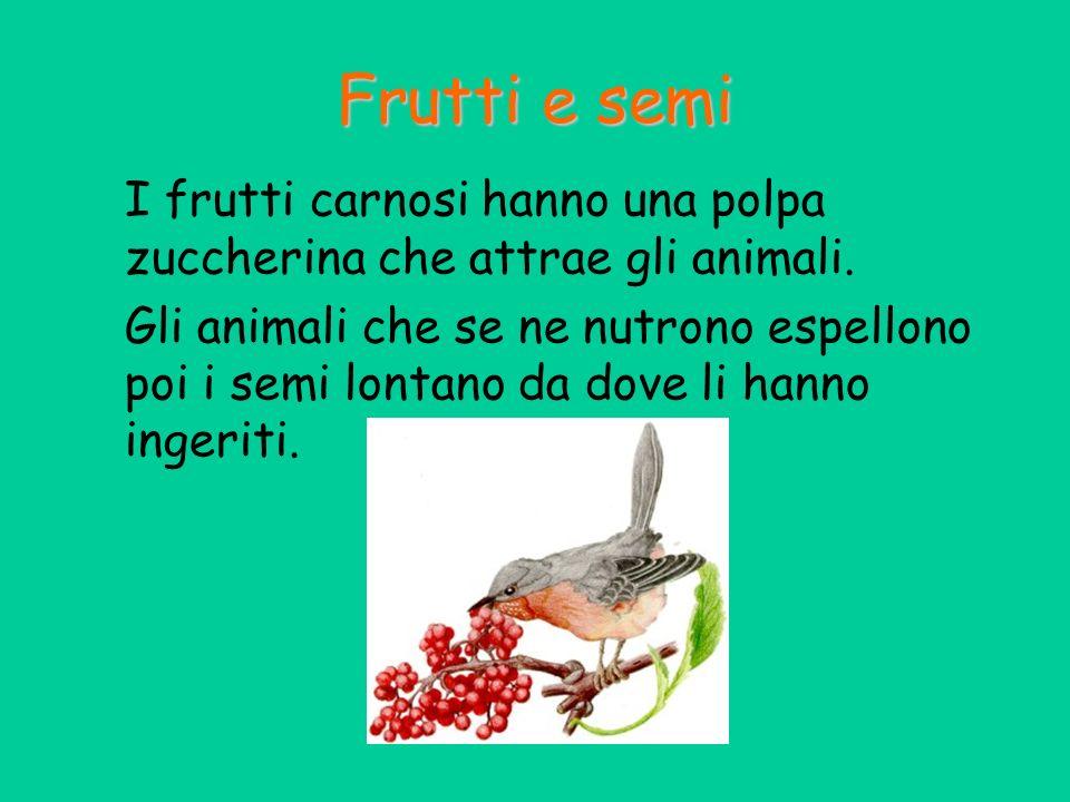 Frutti e semi I frutti carnosi hanno una polpa zuccherina che attrae gli animali.