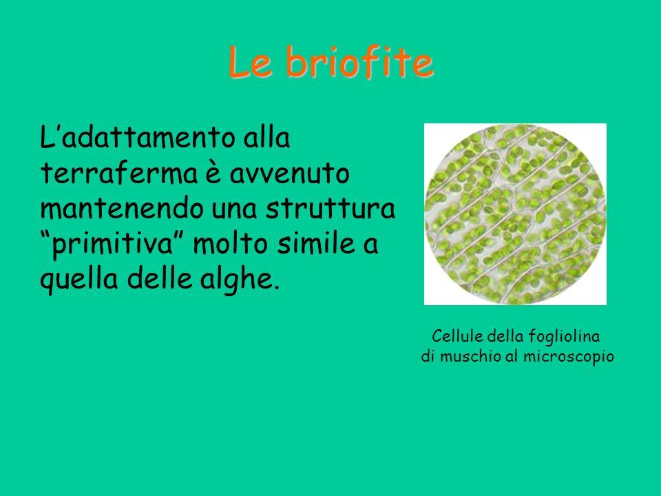Le briofite L'adattamento alla terraferma è avvenuto mantenendo una struttura primitiva molto simile a quella delle alghe.
