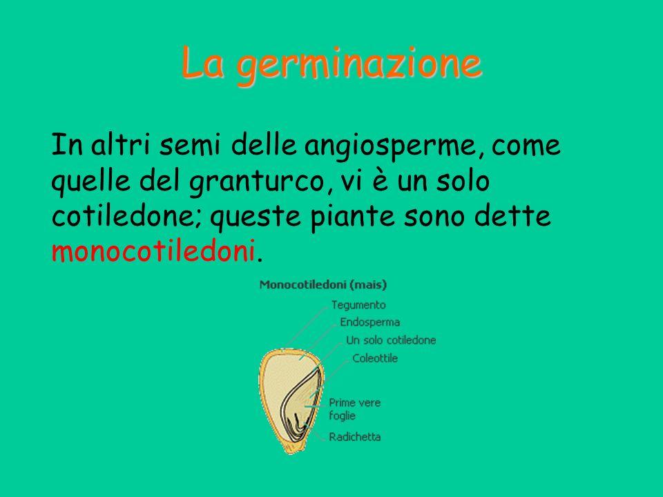 La germinazione In altri semi delle angiosperme, come quelle del granturco, vi è un solo cotiledone; queste piante sono dette monocotiledoni.