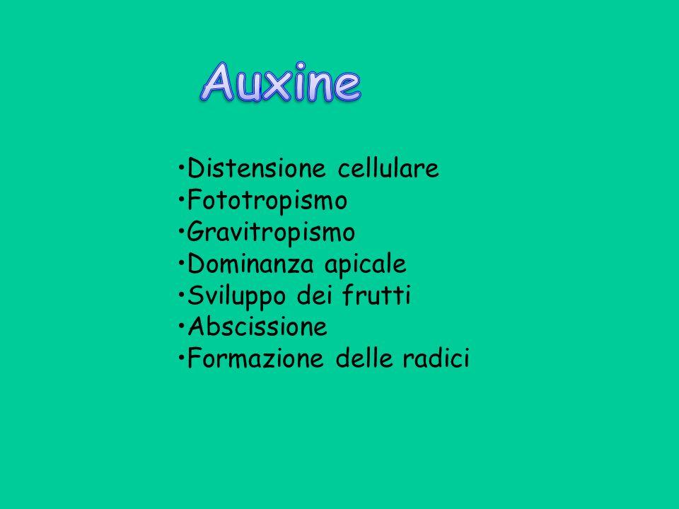 Auxine •Distensione cellulare •Fototropismo •Gravitropismo
