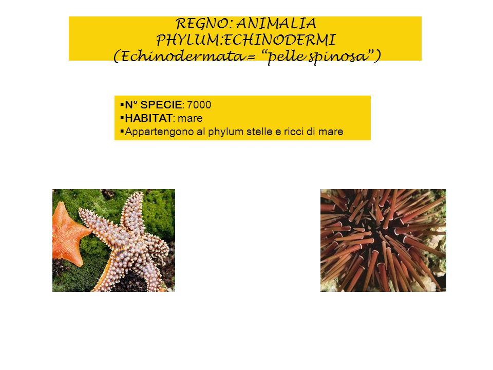 REGNO: ANIMALIA PHYLUM:ECHINODERMI (Echinodermata = pelle spinosa )