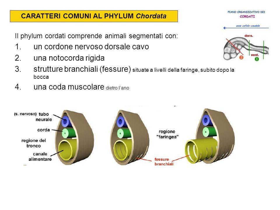 CARATTERI COMUNI AL PHYLUM Chordata