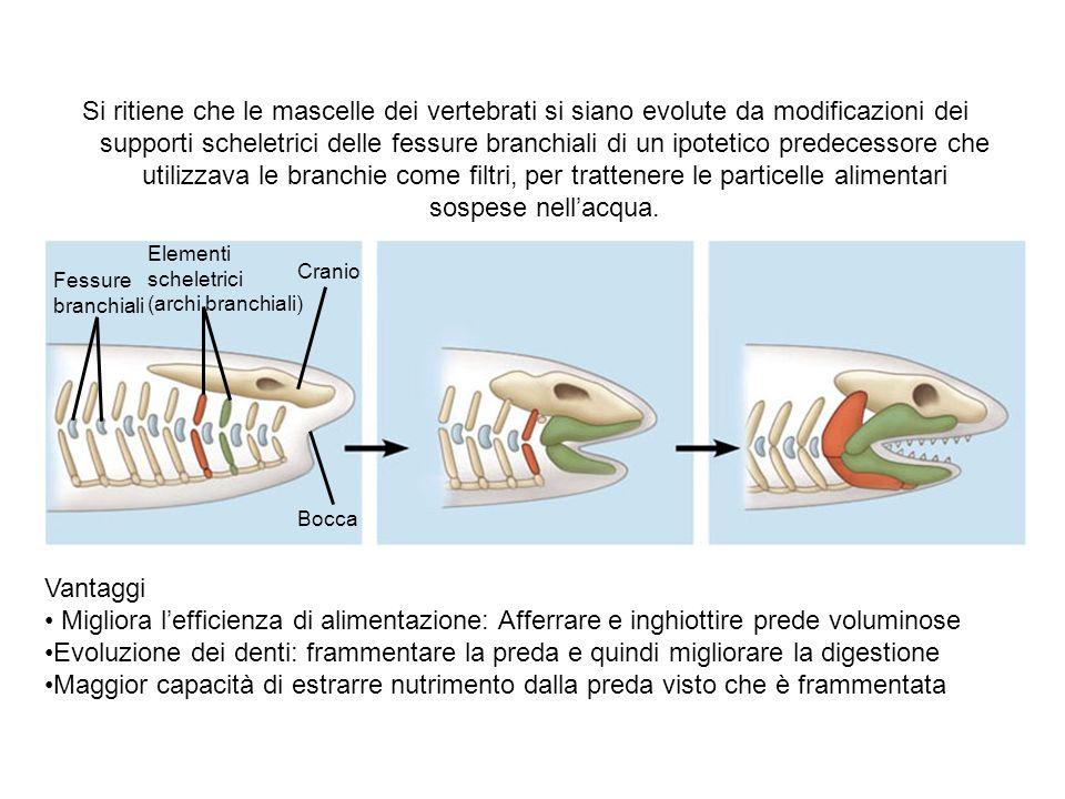 Si ritiene che le mascelle dei vertebrati si siano evolute da modificazioni dei supporti scheletrici delle fessure branchiali di un ipotetico predecessore che utilizzava le branchie come filtri, per trattenere le particelle alimentari sospese nell'acqua.