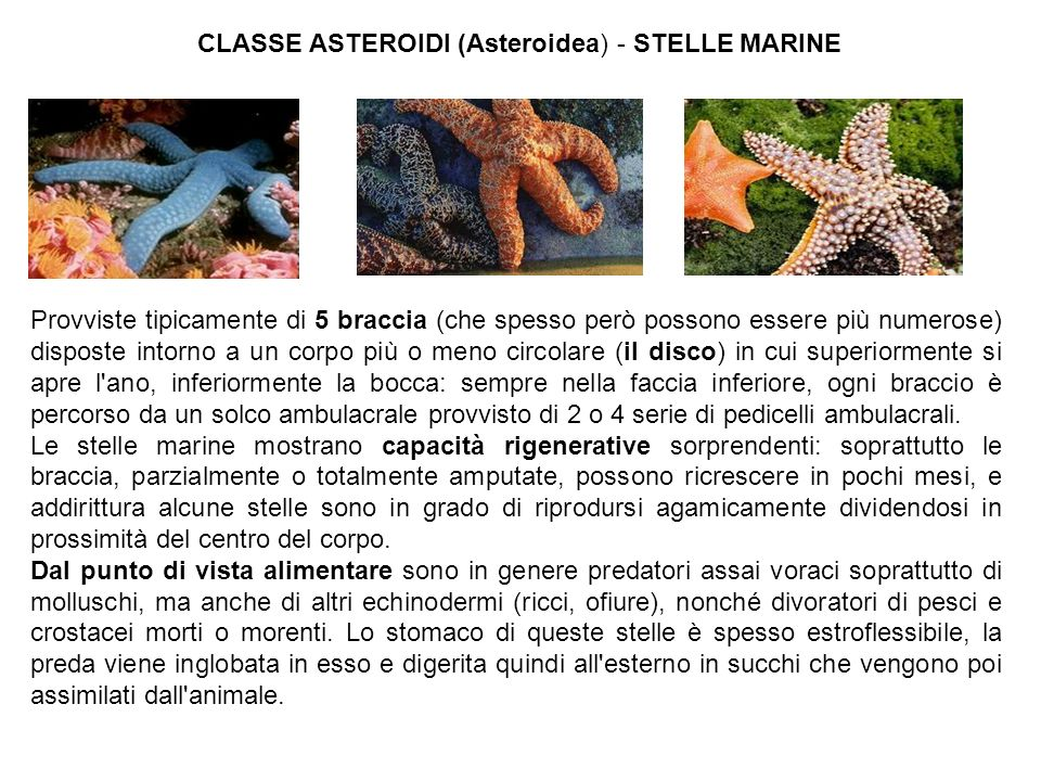 CLASSE ASTEROIDI (Asteroidea) - STELLE MARINE
