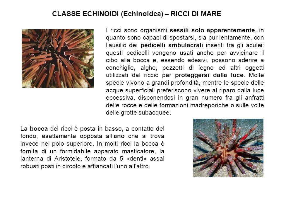CLASSE ECHINOIDI (Echinoidea) – RICCI DI MARE