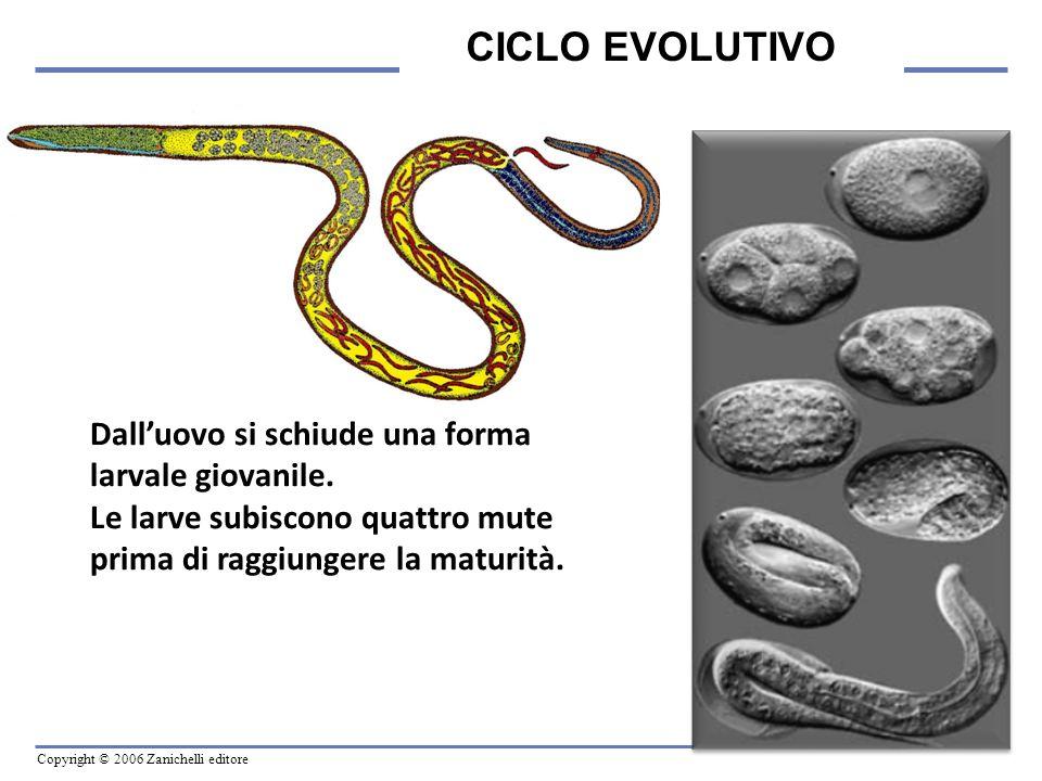CICLO EVOLUTIVO Dall'uovo si schiude una forma larvale giovanile.