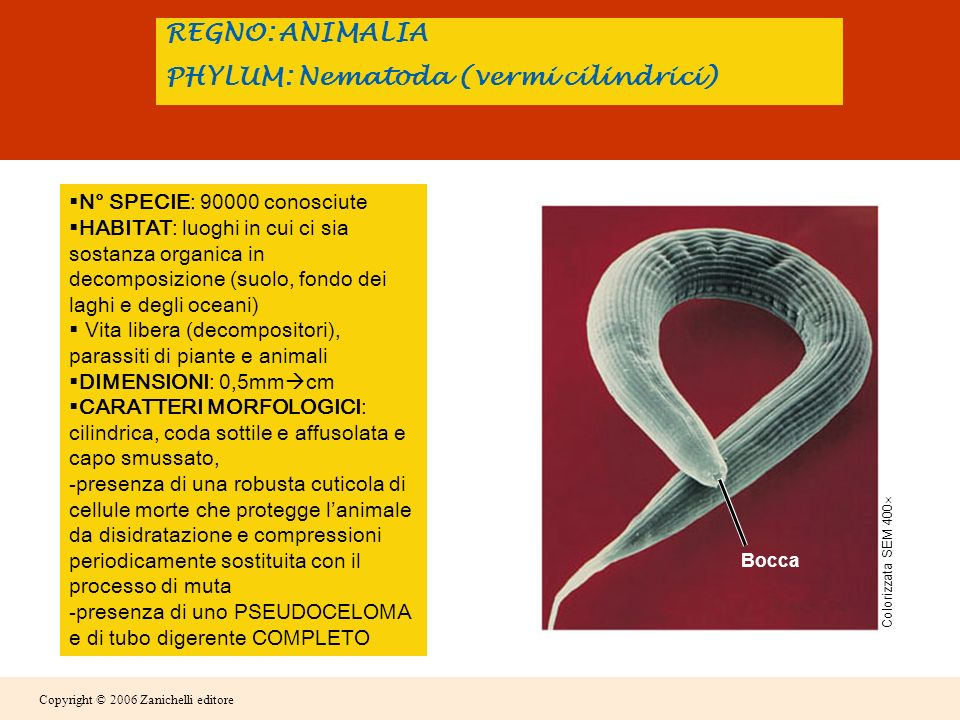 REGNO: ANIMALIA PHYLUM: Nematoda (vermi cilindrici)