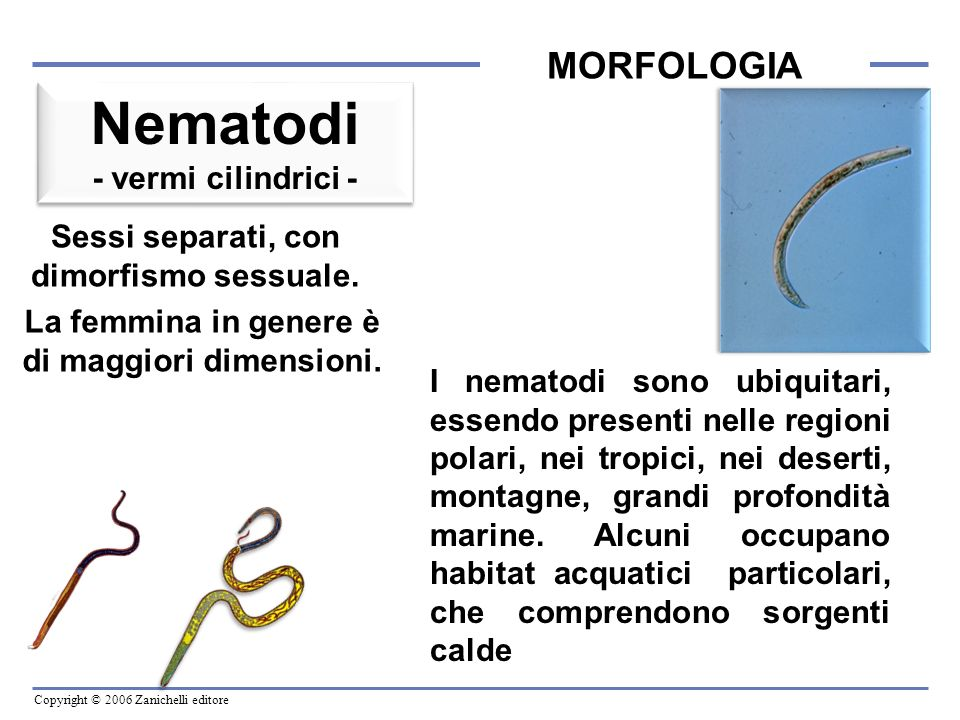 Nematodi MORFOLOGIA - vermi cilindrici -