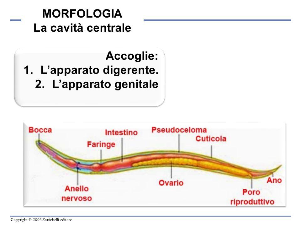 MORFOLOGIA La cavità centrale Accoglie: L'apparato digerente. L'apparato genitale