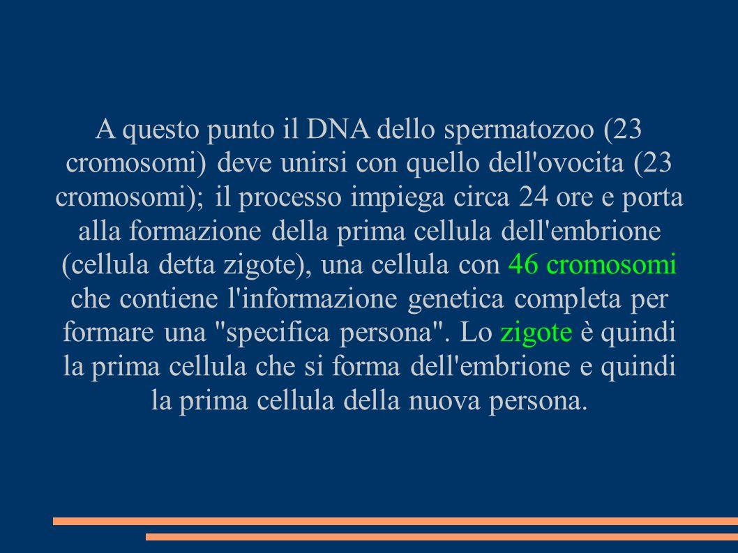 A questo punto il DNA dello spermatozoo (23 cromosomi) deve unirsi con quello dell ovocita (23 cromosomi); il processo impiega circa 24 ore e porta alla formazione della prima cellula dell embrione (cellula detta zigote), una cellula con 46 cromosomi che contiene l informazione genetica completa per formare una specifica persona .