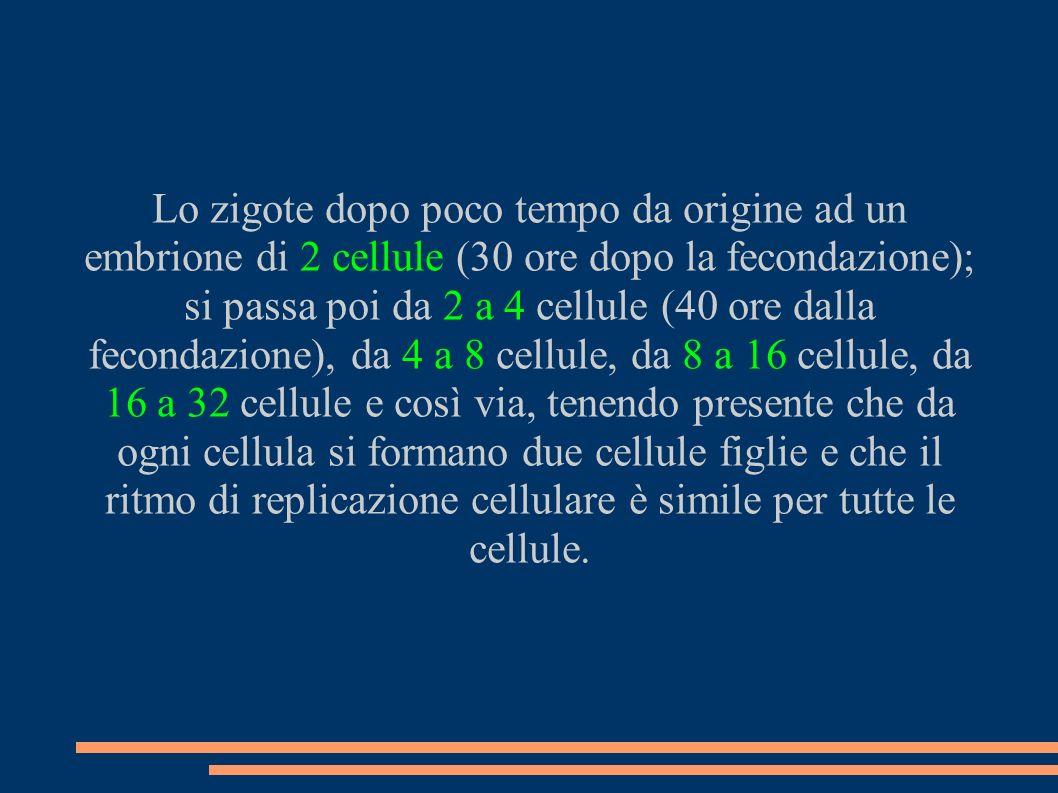 Lo zigote dopo poco tempo da origine ad un embrione di 2 cellule (30 ore dopo la fecondazione); si passa poi da 2 a 4 cellule (40 ore dalla fecondazione), da 4 a 8 cellule, da 8 a 16 cellule, da 16 a 32 cellule e così via, tenendo presente che da ogni cellula si formano due cellule figlie e che il ritmo di replicazione cellulare è simile per tutte le cellule.