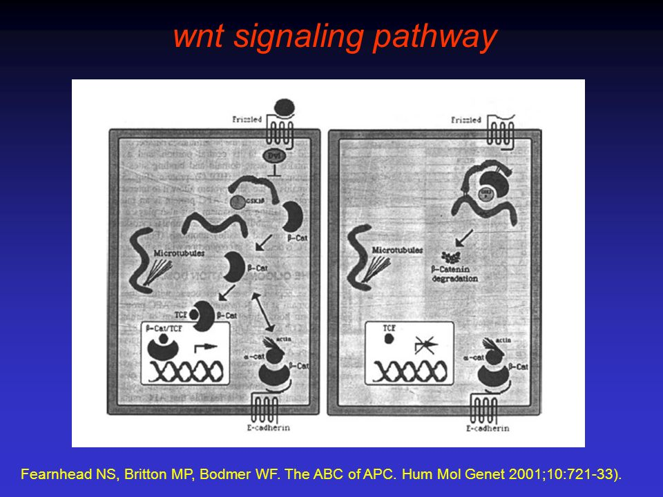 wnt signaling pathway Fearnhead NS, Britton MP, Bodmer WF.