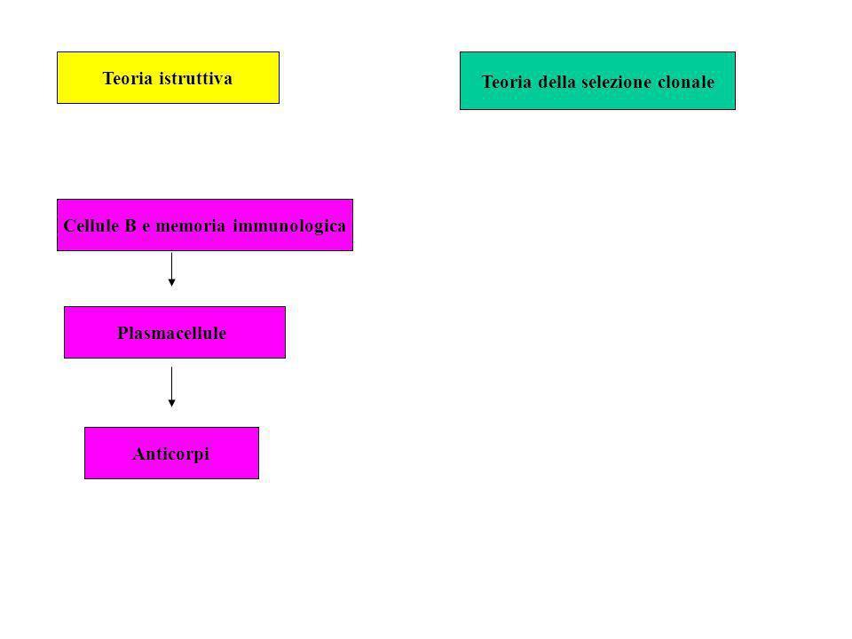 Teoria della selezione clonale Cellule B e memoria immunologica