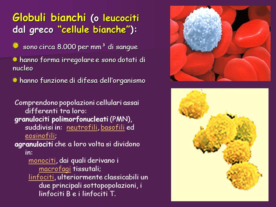 Globuli bianchi (o leucociti dal greco cellule bianche ):