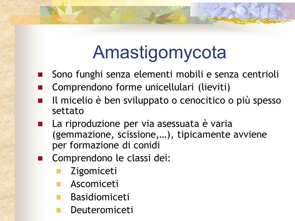 Amastigomycota Sono funghi senza elementi mobili e senza centrioli