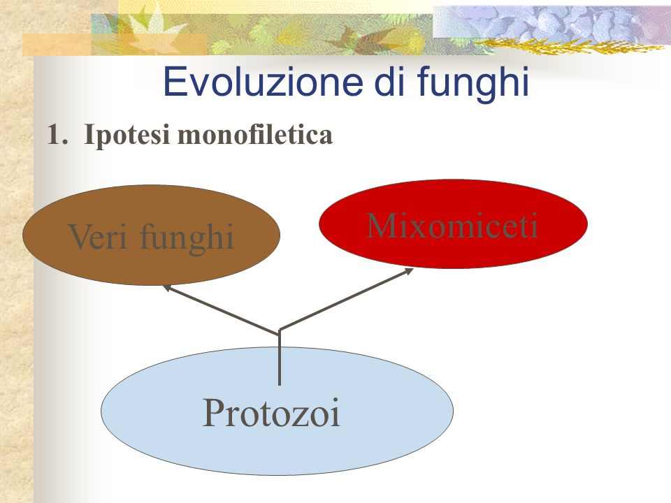 Evoluzione di funghi Protozoi Mixomiceti Veri funghi