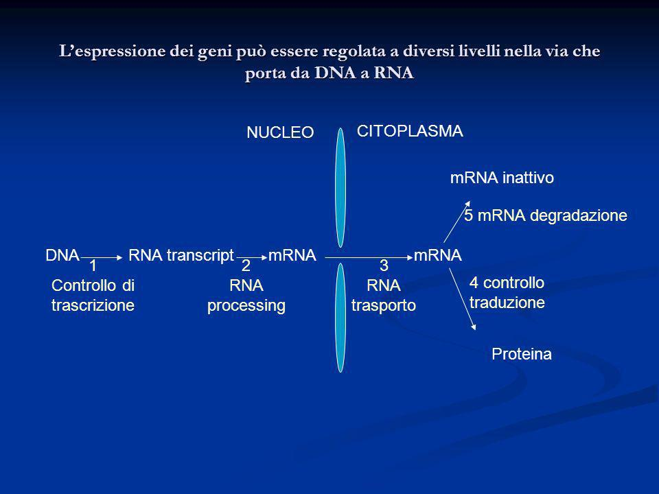 L'espressione dei geni può essere regolata a diversi livelli nella via che porta da DNA a RNA