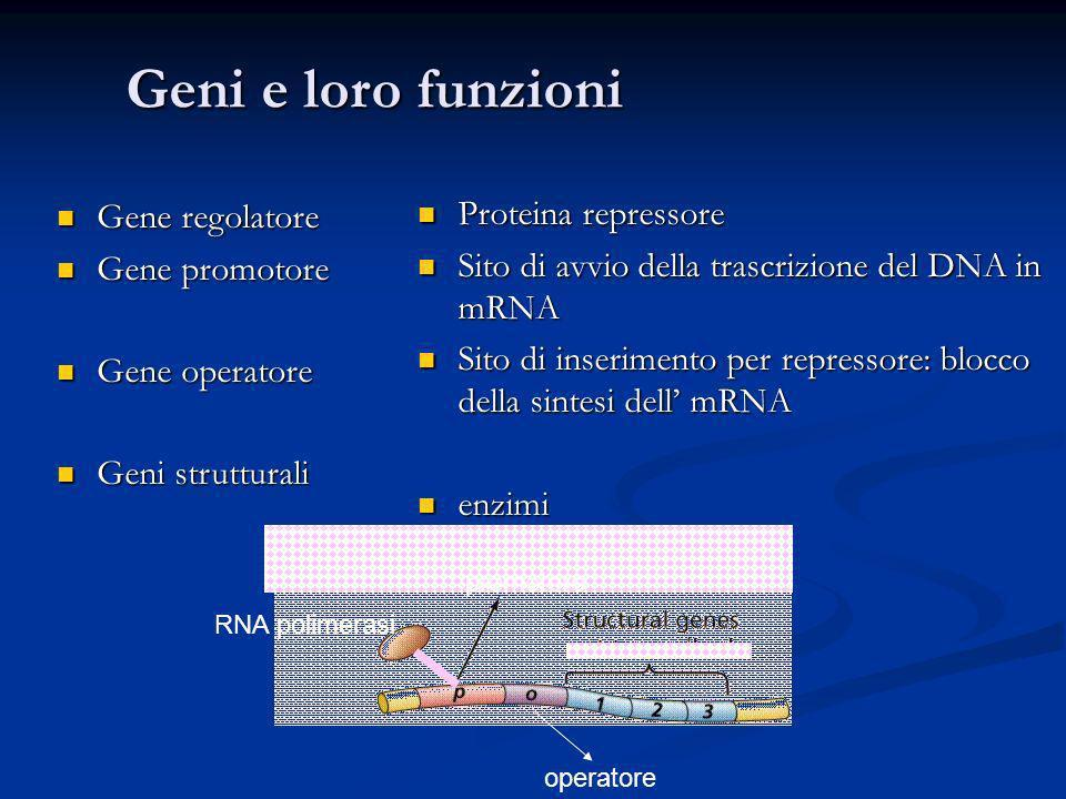 Geni e loro funzioni Gene regolatore Proteina repressore