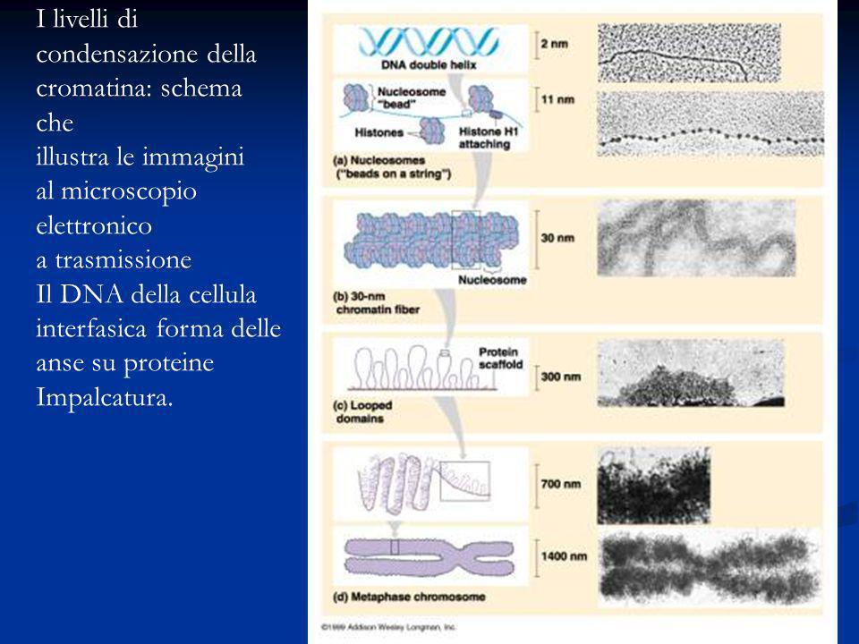 I livelli di condensazione della. cromatina: schema che. illustra le immagini. al microscopio. elettronico.