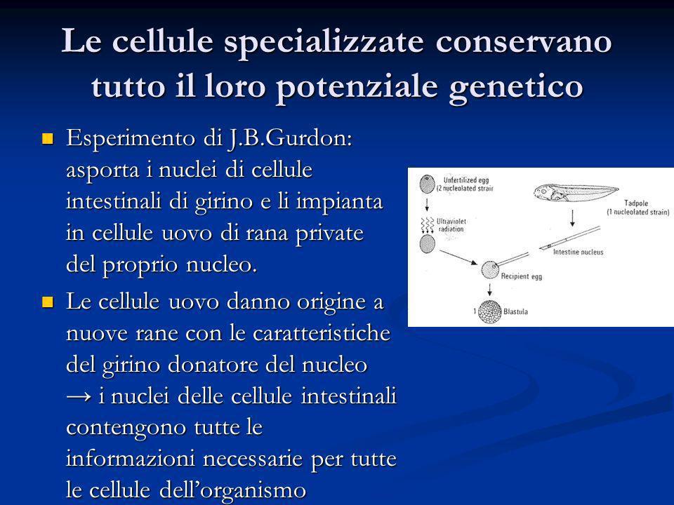 Le cellule specializzate conservano tutto il loro potenziale genetico