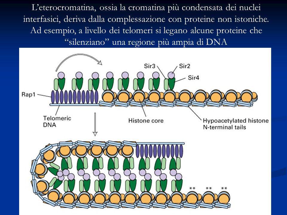 L'eterocromatina, ossia la cromatina più condensata dei nuclei interfasici, deriva dalla complessazione con proteine non istoniche.
