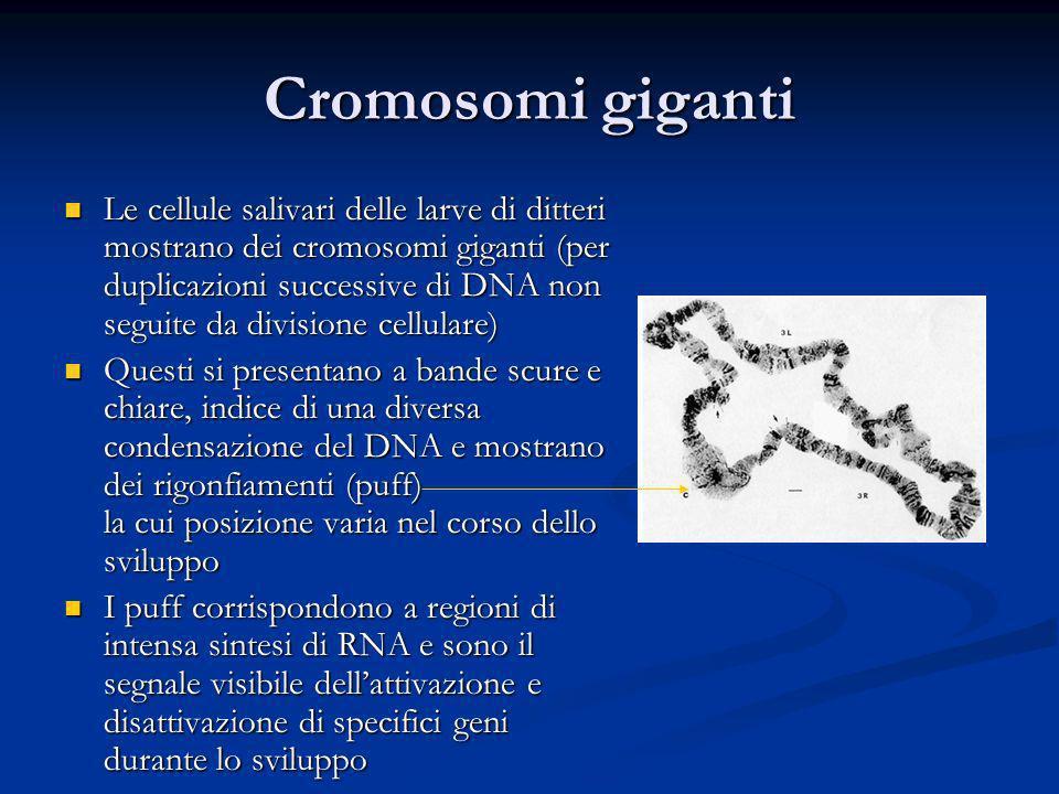 Cromosomi giganti