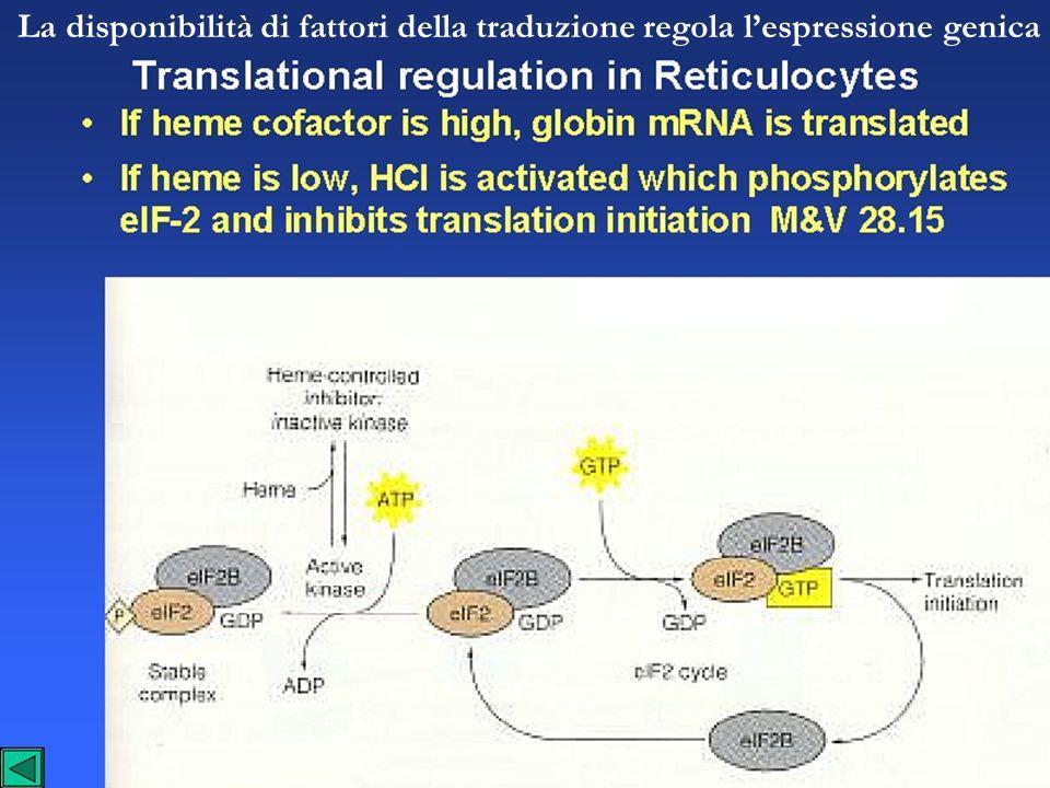 La disponibilità di fattori della traduzione regola l'espressione genica