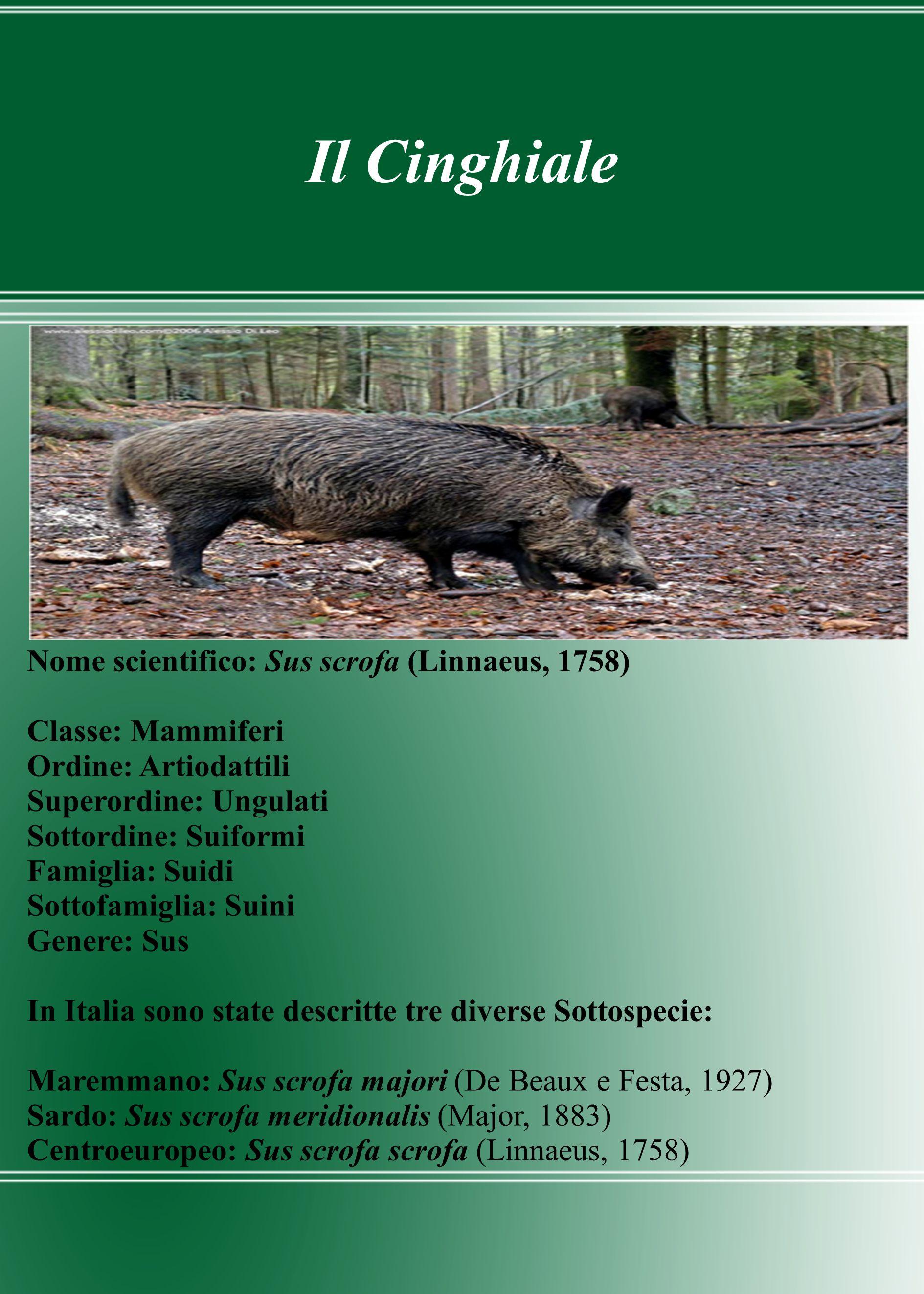 Il Cinghiale Nome scientifico: Sus scrofa (Linnaeus, 1758)