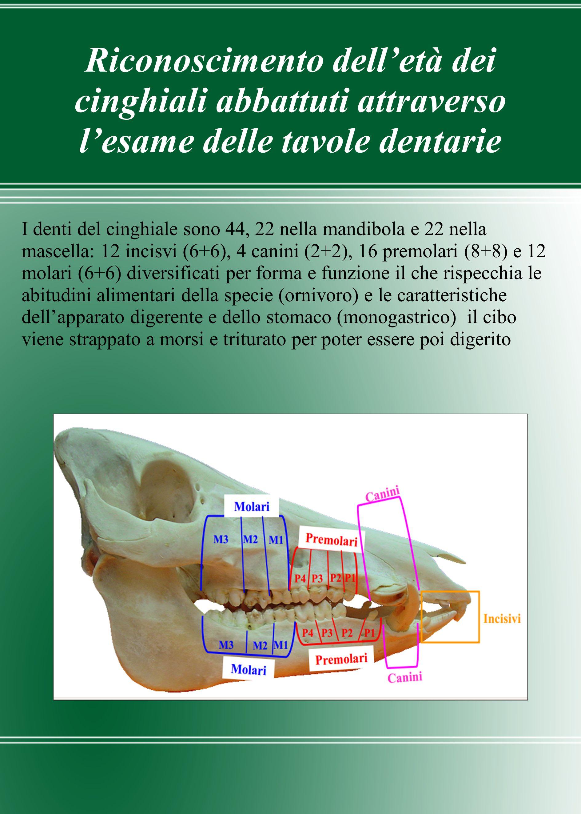 Riconoscimento dell'età dei cinghiali abbattuti attraverso l'esame delle tavole dentarie