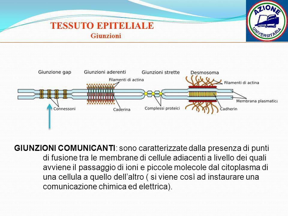TESSUTO EPITELIALE Giunzioni.