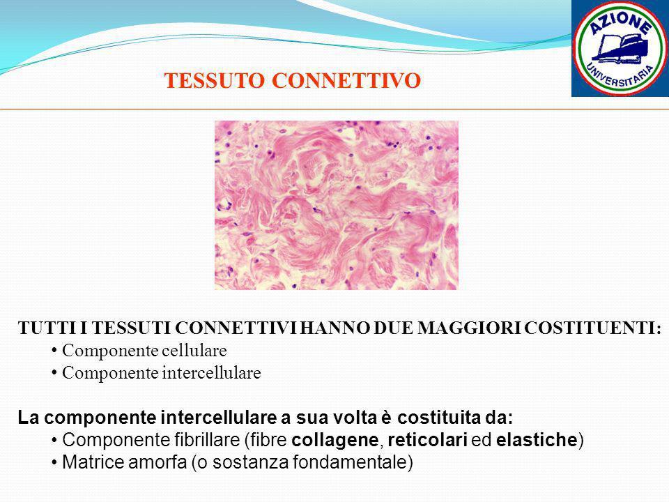 TESSUTO CONNETTIVOTUTTI I TESSUTI CONNETTIVI HANNO DUE MAGGIORI COSTITUENTI: Componente cellulare. Componente intercellulare.