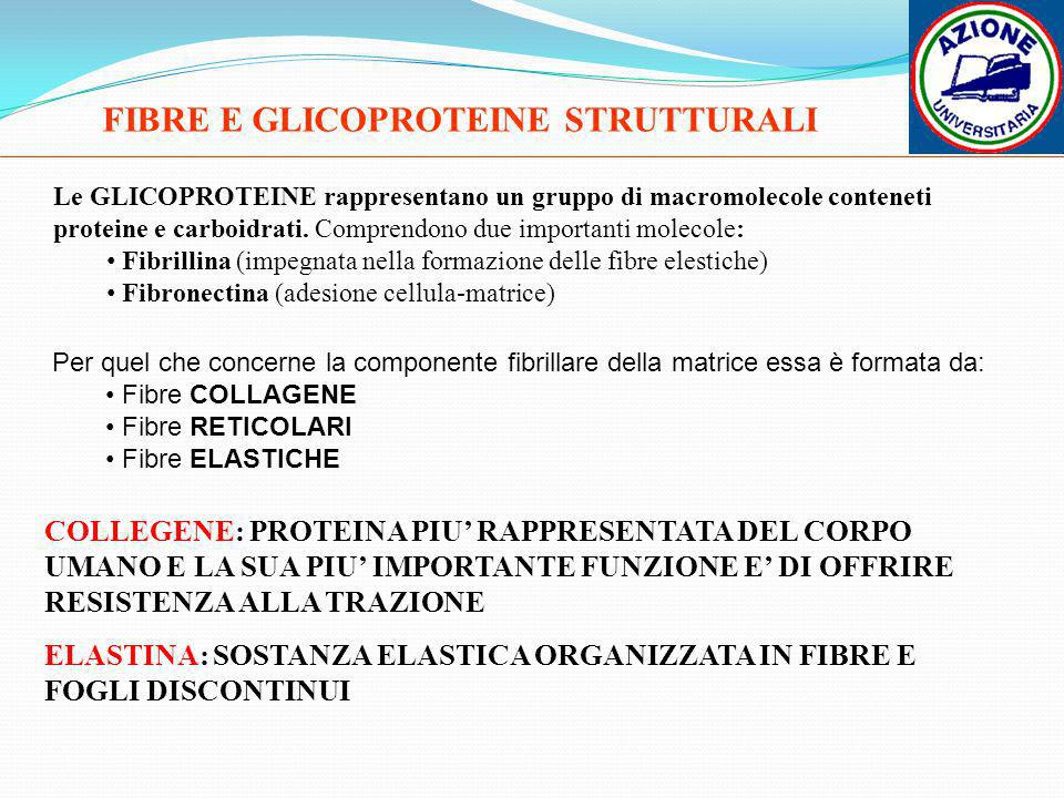 FIBRE E GLICOPROTEINE STRUTTURALI