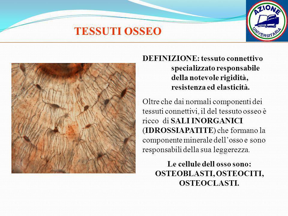 Le cellule dell osso sono: OSTEOBLASTI, OSTEOCITI, OSTEOCLASTI.