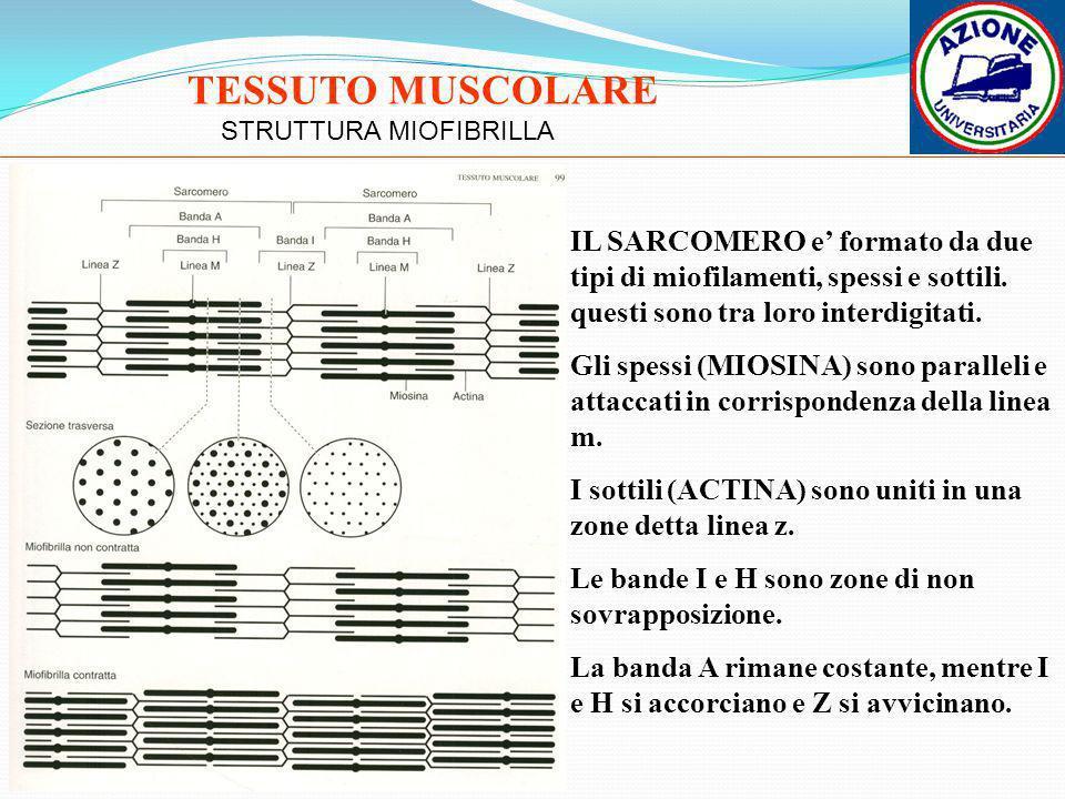 STRUTTURA MIOFIBRILLA