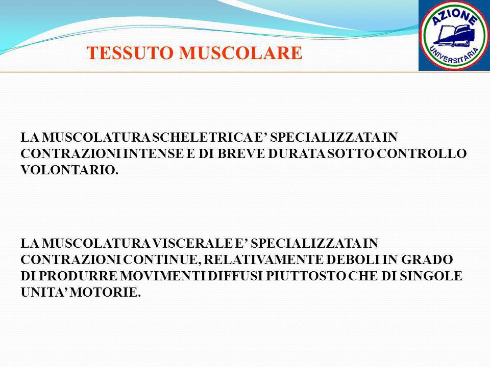 TESSUTO MUSCOLARELA MUSCOLATURA SCHELETRICA E' SPECIALIZZATA IN CONTRAZIONI INTENSE E DI BREVE DURATA SOTTO CONTROLLO VOLONTARIO.