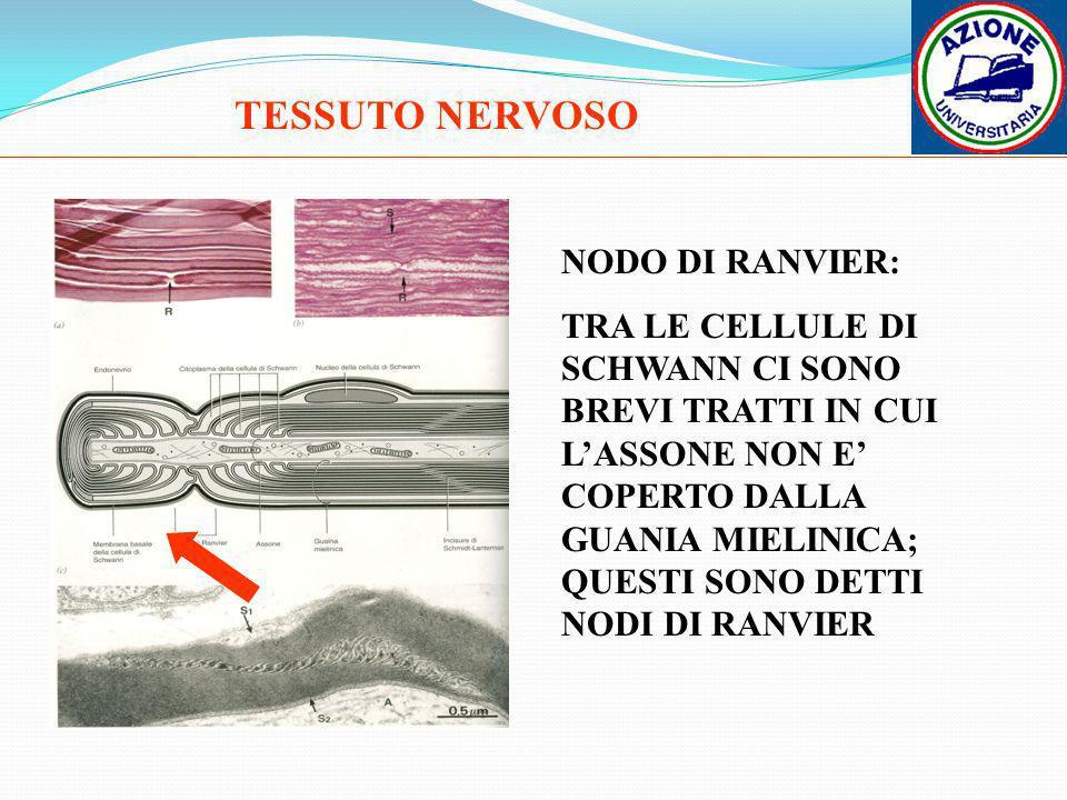 TESSUTO NERVOSO NODO DI RANVIER: