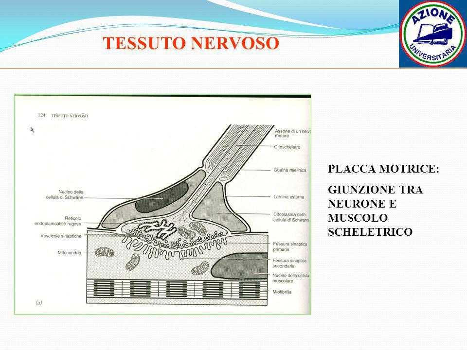 TESSUTO NERVOSO PLACCA MOTRICE: